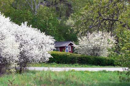 Torpet i Landsnora den 17 maj då slån och körsbär, gullvivor och tulpaner, maskrosor och hägg är som praktfullast! Natur och trädgård i symbios!