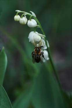 Mordet i liljekonvaljeskogen – krabbspindel med blomfluga