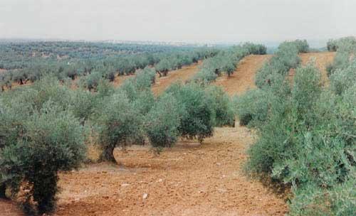 Andalusien – oliver till horisonten