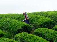Arbete på teplantagen – från Hibiki-an