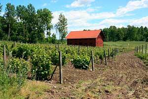 Ca 5500 ädelvinstockar på friland (vitis vinifera)